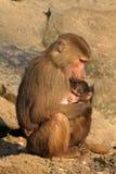 младенец павиана ее мать удерживания Стоковые Изображения