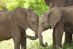 Младенец слона Стоковое Изображение