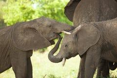 Младенец слона Стоковая Фотография