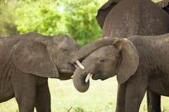Младенец слона Стоковые Фото