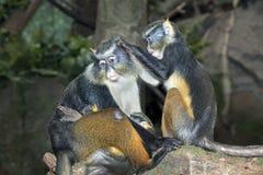 младенец холя ее sykes мати monkies владениями Стоковая Фотография RF