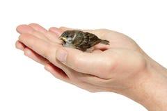 Младенец цыпленока воробья желт-beaked в мыжских руках Стоковые Изображения RF