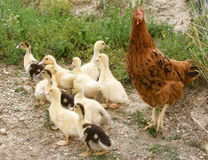 младенец ducks курица Стоковые Изображения