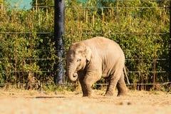младенец elefant Зоопарк Дублина Ирландия Стоковые Фотографии RF