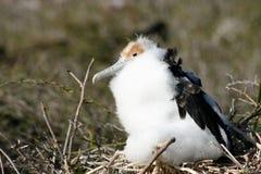 младенец galapagos фрегата птицы стоковые фотографии rf