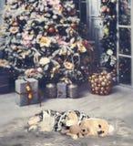 Младенец Pomeranian сонный стоковое изображение rf