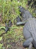 младенцы аллигатора женские Стоковые Изображения