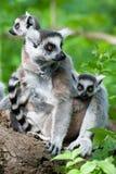 младенцы милые ее замкнутое кольцо lemur Стоковое Изображение RF
