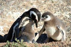 Младенцы пингвина подавая Стоковое Изображение RF