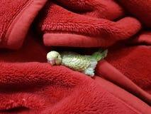 Младенцы budgies Стоковая Фотография