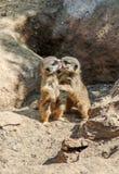 Младенцы Meercat, suricatta suricata Стоковое Фото