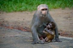 Младенческая макака Краб-еды подавая от своей матери стоковое фото rf
