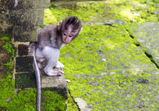 Младенц-обезьяна пряча в пуще Ubud, Бали Стоковая Фотография