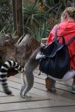 Млекопитающее Африка лемура малое смешное животное с людьми стоковое фото