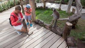 Млекопитающее Африка лемура малое смешное животное с людьми стоковая фотография