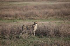 Млекопитающее дикого животного саванны Ботсваны Африки гепарда Стоковая Фотография RF