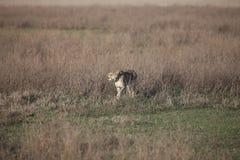 Млекопитающее дикого животного саванны Ботсваны Африки гепарда Стоковое фото RF