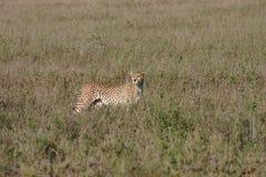 Млекопитающее дикого животного саванны Ботсваны Африки гепарда Стоковое Изображение