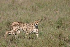 Млекопитающее дикого животного саванны Ботсваны Африки гепарда Стоковые Изображения RF