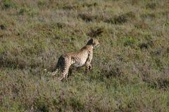 Млекопитающее дикого животного саванны Ботсваны Африки гепарда Стоковые Фото