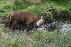 МЛЕКОПИТАЮЩИЕ - Красные олени стоковая фотография rf