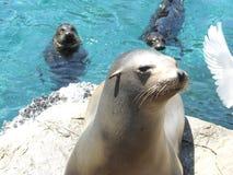 Млекопитающие морских львов в зоопарке Ирландии стоковое фото