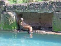Млекопитающие морских львов в зоопарке Ирландии стоковые фото