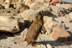 Млекопитающие Daman травоядные Стоковое Фото