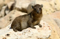 Млекопитающие Daman травоядные Стоковые Фотографии RF