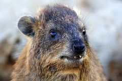 Млекопитающие Daman травоядные Стоковые Изображения RF