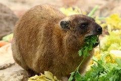 Млекопитающие Daman травоядные Стоковое Изображение