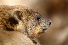 Млекопитающие Daman травоядные Стоковые Изображения
