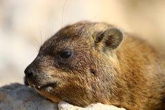 Млекопитающие Daman травоядные Стоковое фото RF