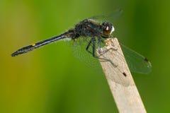 Многоточи-замкнутый Dragonfly Whiteface Стоковое Фото