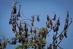 Многочисленние огромные летучие мыши вися от дерева Стоковая Фотография