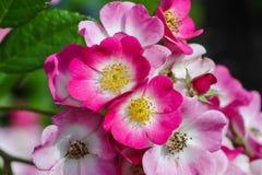 Многочисленные цветки красно-белой изгороди подняли летом, розановые, на кустарнике с много зеленых листьев стоковое изображение