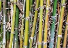 Много бамбук Стоковые Изображения