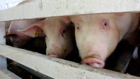 Много белая свинья рассматривая загородка чего они едят акции видеоматериалы