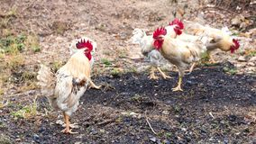 Много белых и желтых цыплят на том основании Стоковые Фото