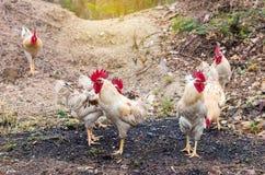 Много белых и желтых цыплят на том основании Стоковое Фото