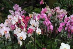 Много белых и фиолетовых цветков орхидеи Стоковые Изображения