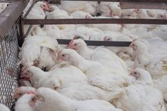 Много белых куриц в клетке на фабрике для продукции мясных продуктов от цыплят Стоковое Изображение RF