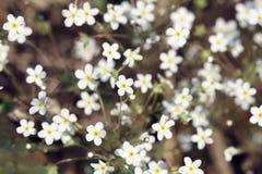 Много белых маленьких цветков любят звезды Стоковое Изображение