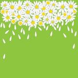 Много белых маргариток на зеленой предпосылке иллюстрация штока