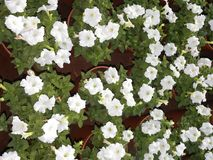 Много белых цветков петуньи цвета в цветочных горшках Стоковые Изображения RF