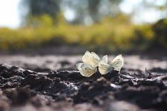 Много белых бабочек порхая в лете и сидят Стоковое Изображение