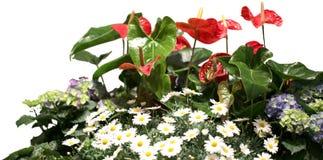 Много белых маргаритки и красного антуриума цветка Стоковые Фото