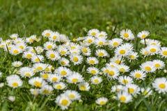 Много белых маргариток на луге Perennis Bellis - группа в составе маргаритки на весеннем времени Стоковое Изображение
