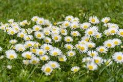 Много белых маргариток на луге Perennis Bellis - группа в составе маргаритки на весеннем времени Стоковое Изображение RF
