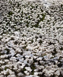 Много белых растущих цветков крокуса под солнечностью весны Стоковые Изображения RF